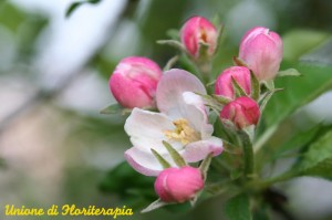 Crab Apple, Malus sylvestris, Fiori di Bach