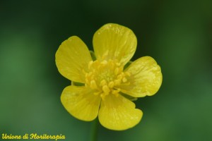 Buttercup - Ranuncolo
