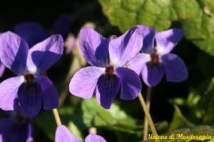 Violet - Violetta, fiori californiani