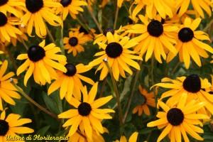 Black Eyed Susan, fiori californiani