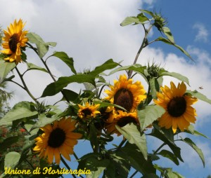Sunflower - Girasole - fiori californiani