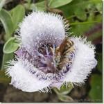star tulip 3